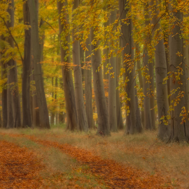 """Curtain fall. Elveden forest autmn avenue V"" stock image"