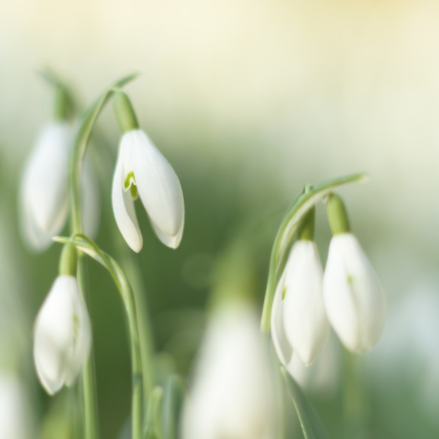 """Pearls of winter. Soft snowdrop study"" stock image"