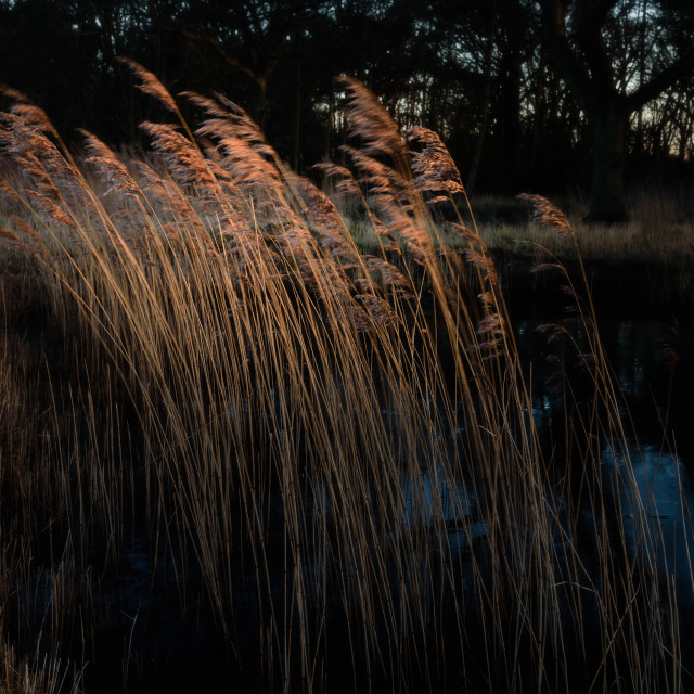 """Catching. Reeds catching the light"" stock image"
