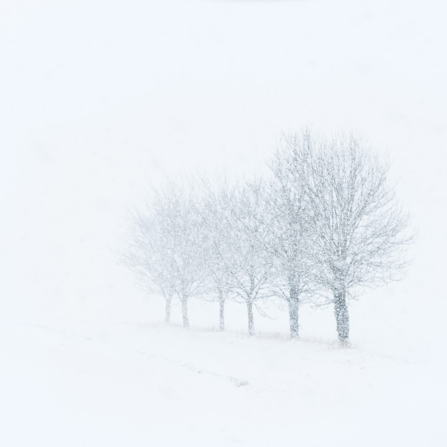 """Fading. Receding line of trees in snow fall"" stock image"