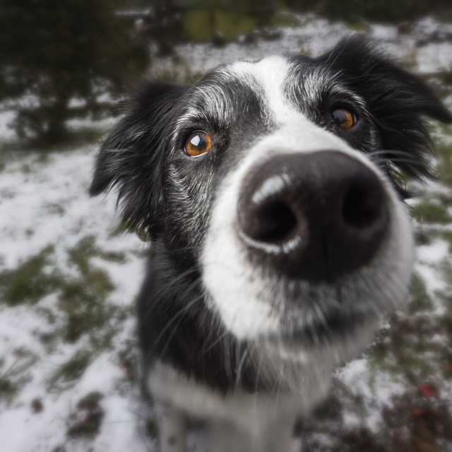 """Border collie portrait, in snowy garden. Nose close up"" stock image"