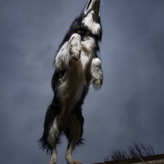 """Border collie leaping from wall. Upward aspect"" stock image"