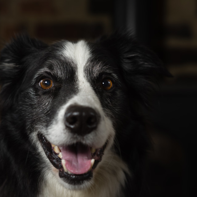 """Border collie portrait, in front of stove"" stock image"