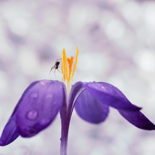 """Crocus with spider, soft background"" stock image"