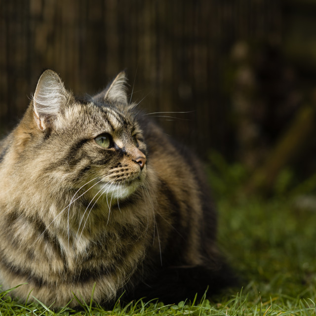 """Loafing tabby cay in garden I"" stock image"