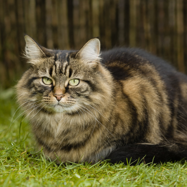 """Loafing tabby cay in garden IV"" stock image"