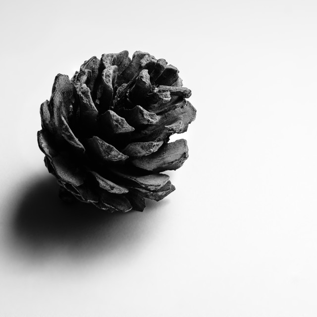 """Pine cone still life, on white background"" stock image"