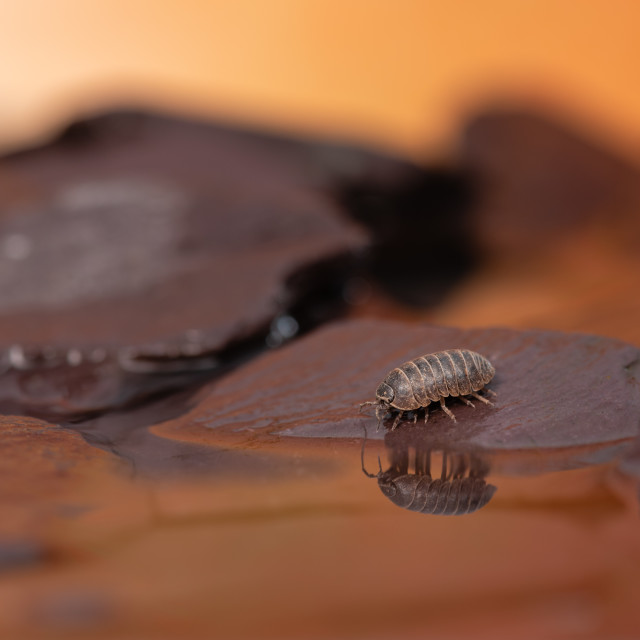 """Life on Mars. Woodlouse on rocks and water reflections I"" stock image"
