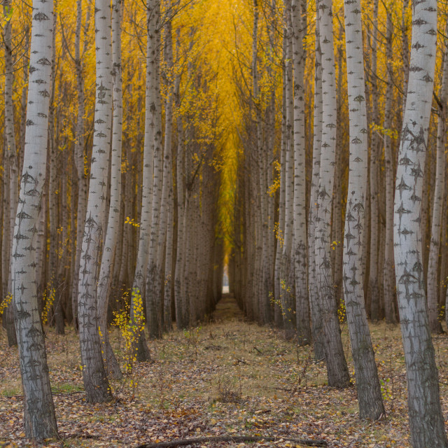 """Rows of Trees in Autumn"" stock image"