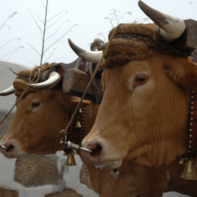 """""""Close up of Oxen Tenerife,"""" stock image"""