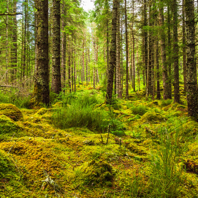 """Scottish Woodland"" stock image"
