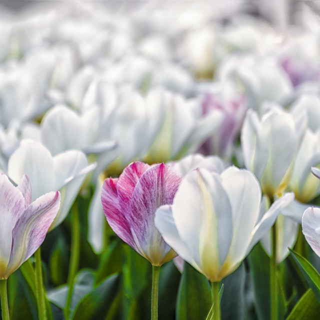 """Tulips In The Springtime"" stock image"