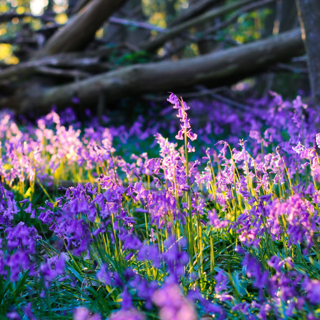"""""""Spring Bluebells in a forest"""" stock image"""