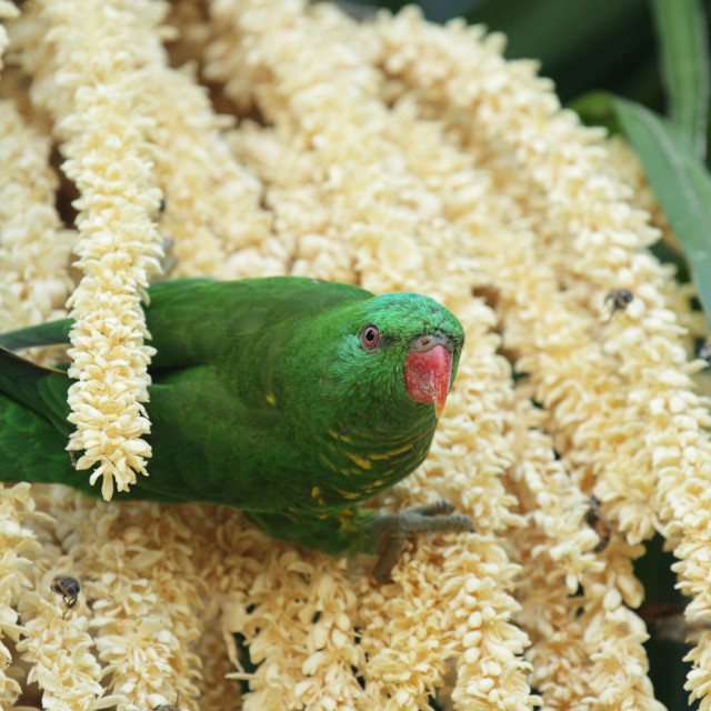 """""""Scaly-breasted Lorikeet (Trichoglossus chlorolepidotus)"""" stock image"""