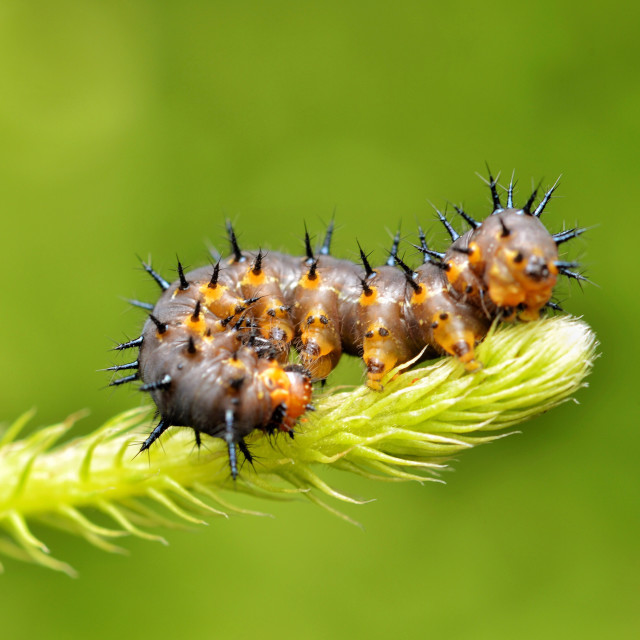 """""""Passion Butterfly caterpillar (Agraulis vanilae)"""" stock image"""