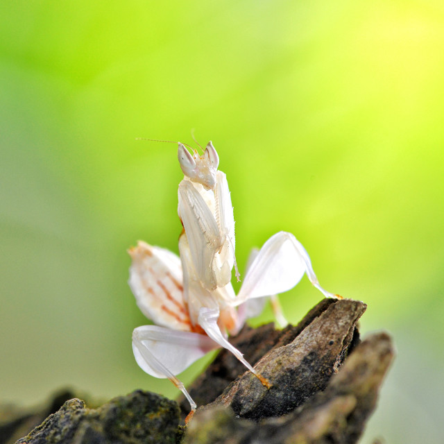 """""""Orchid mantis"""" stock image"""