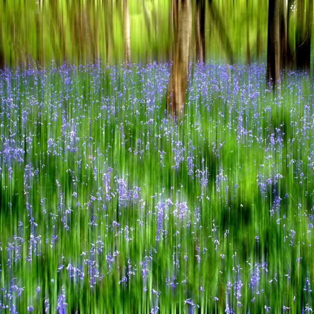 """""""Impression of Bluebell Woods"""" stock image"""