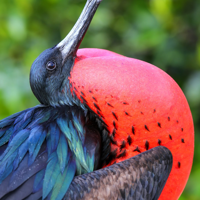 """Male Great Frigatebird (Fregata minor) on Genovesa Island, Galapagos National..."" stock image"