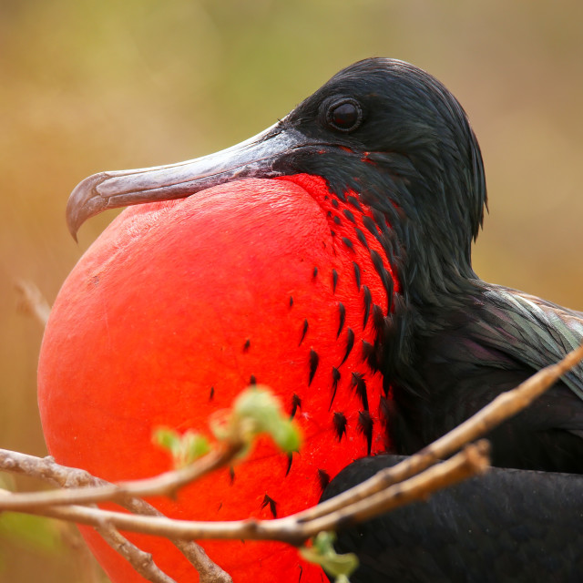 """""""Male Magnificent Frigatebird (Fregata magnificens) with inflated gular sac..."""" stock image"""