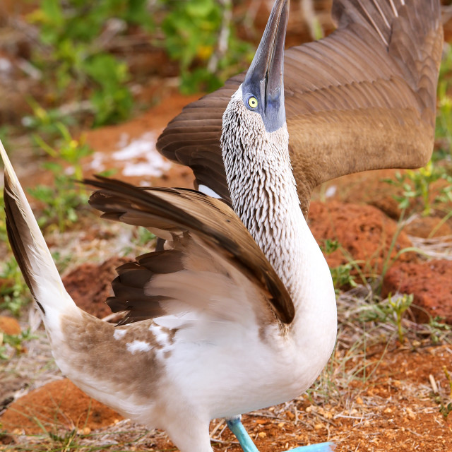 """""""Male Blue-footed Booby displaying (Sula nebouxii) on North Seymour Island,..."""" stock image"""