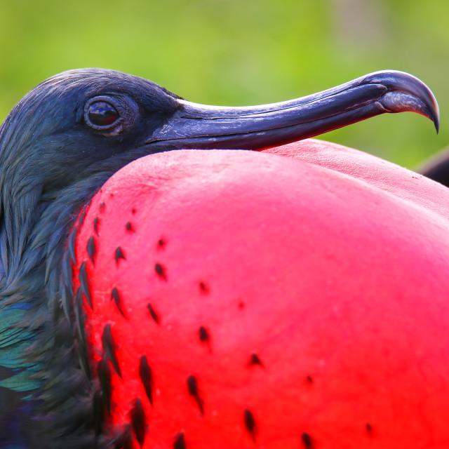 """Portrait of male Great Frigatebird (Fregata minor) on Genovesa Island,..."" stock image"