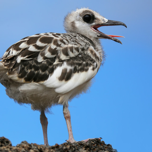"""Baby Swallow-tailed Gull (Larus furcatus) on Genovesa island in Galapagos..."" stock image"