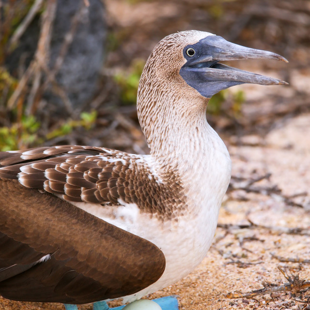 """""""Blue-footed Booby with an egg (Sula nebouxii) on North Seymour Island,..."""" stock image"""