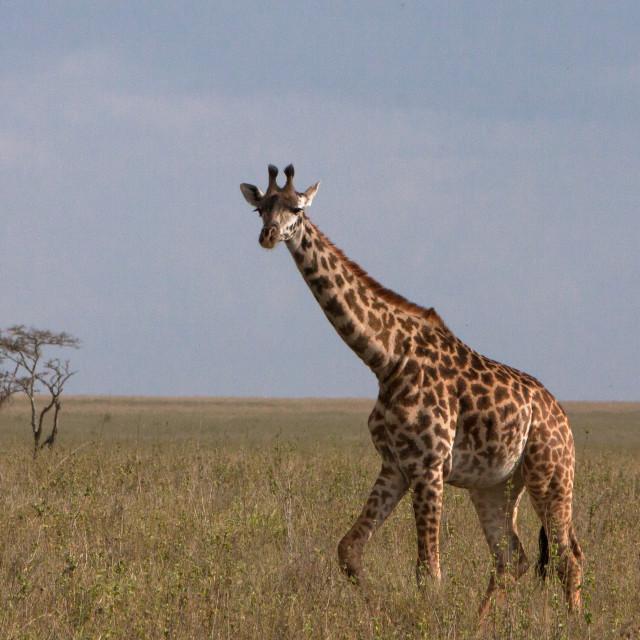 """A solitary giraffe"" stock image"