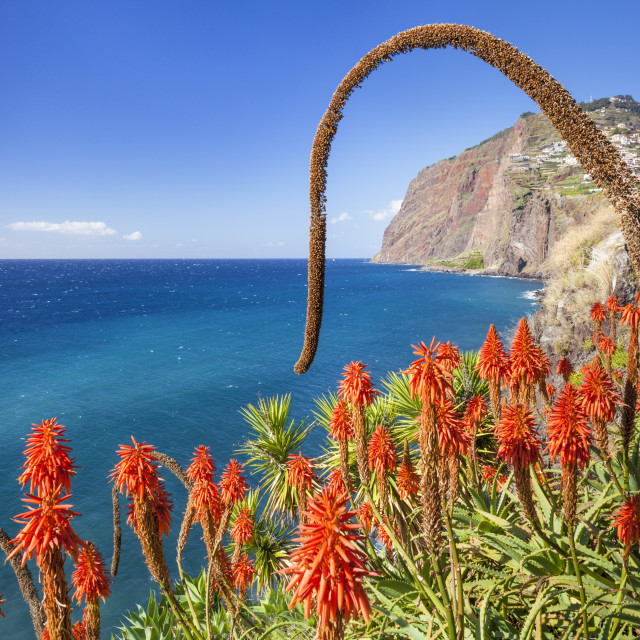 """The sea cliff headland Cabo Girao with red Kranz aloe, Aloe arborescens and..."" stock image"