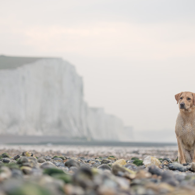 """golden Labrador sitting next to seven Sisters, East Sussex, Cuckmere Haven"" stock image"