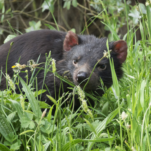 """Tasmanian Devil in long grass, Tasmania, Australia"" stock image"