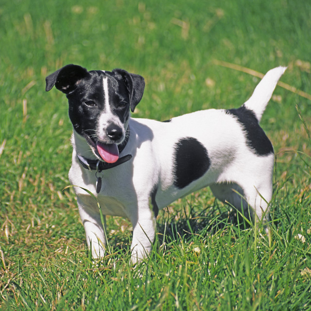 """""""Jack Russell puppy standing in a field"""" stock image"""