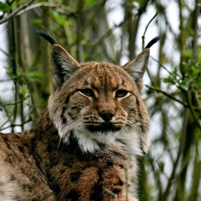 """A Eurasian lynx"" stock image"