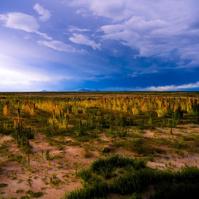 """Lush Quinoa Fields in Bolivia closeby Uyuni"" stock image"