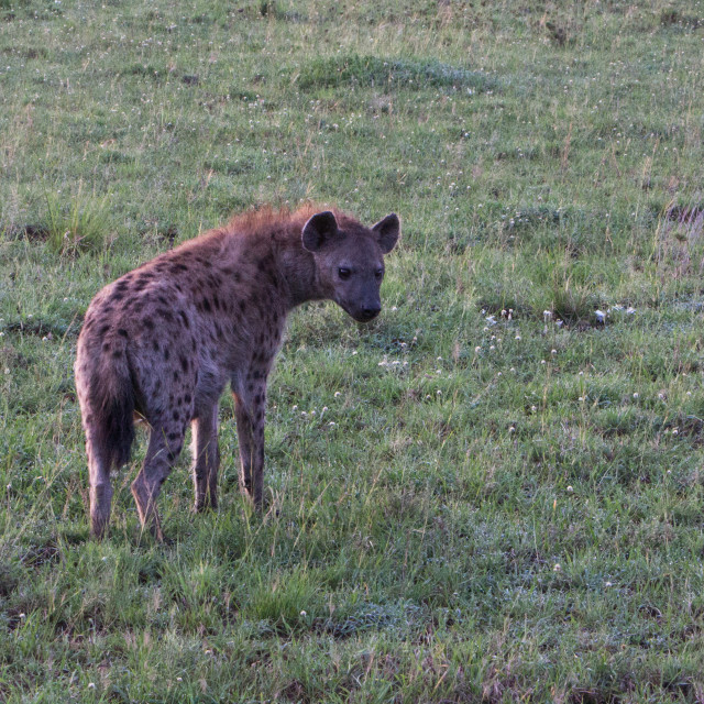 """Hyena in the morning light"" stock image"
