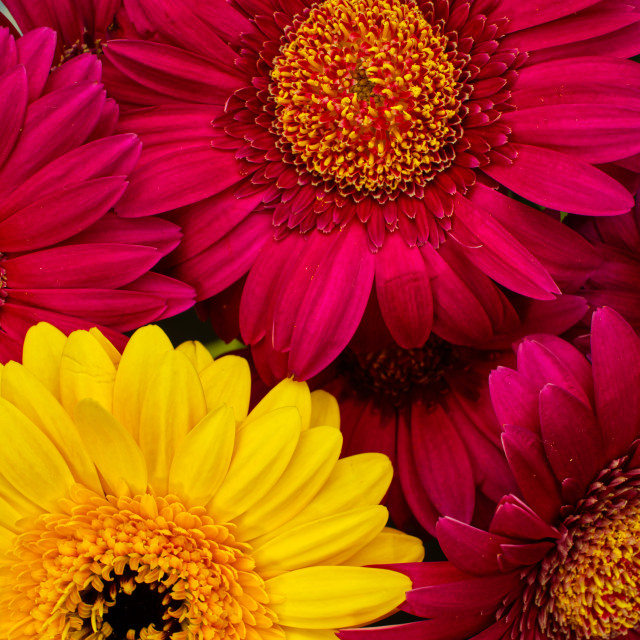 """Pink and yellow gerbera flower heads, daisy family closeup Bouqu"" stock image"