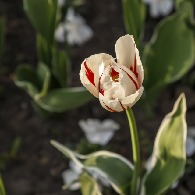 """Colorful single tulip"" stock image"