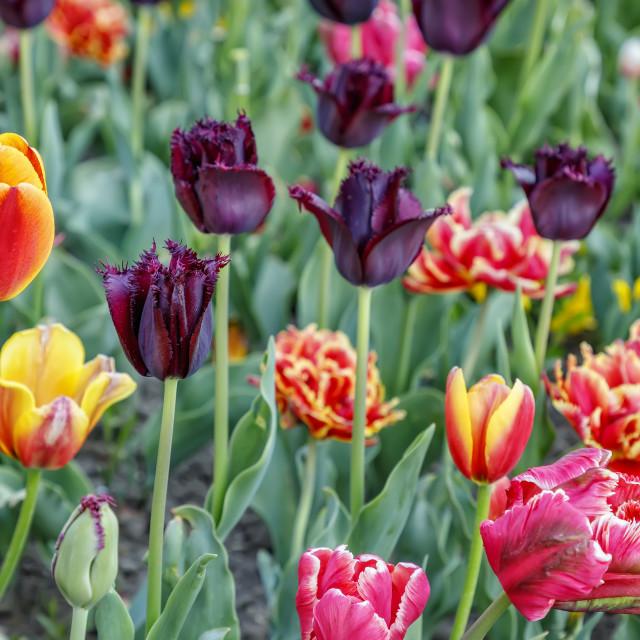 """Beautiful tulips flower. Vertical"" stock image"