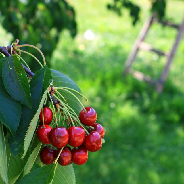 """Cherry fruit on tree"" stock image"