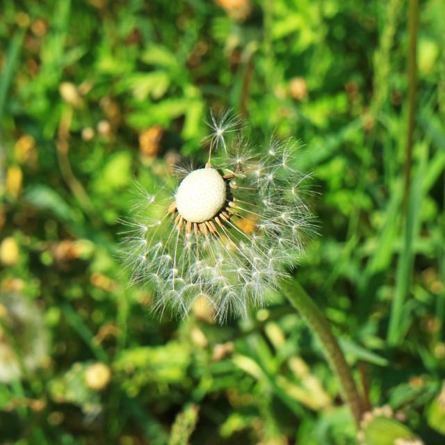 """""""Dandelion Seed"""" stock image"""