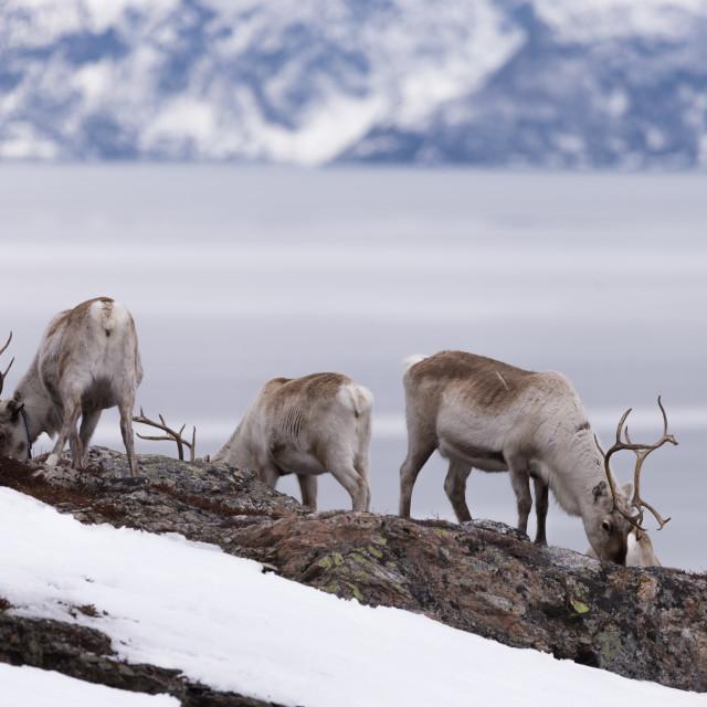 """Herd of reindeer eating"" stock image"
