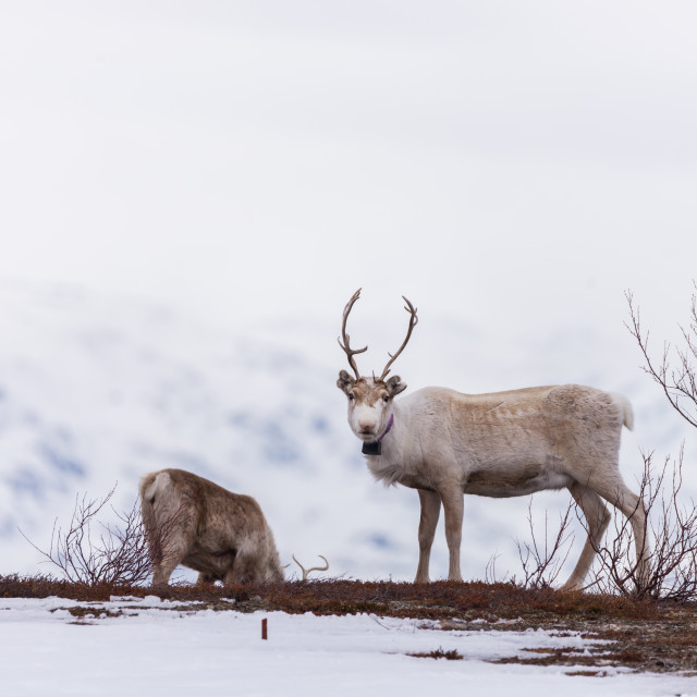 """Reindeer watching"" stock image"