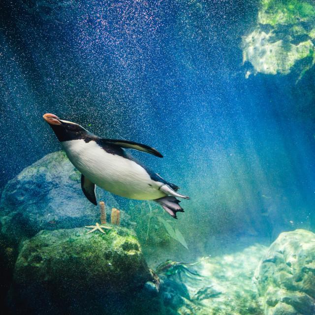 """Penguin diving"" stock image"