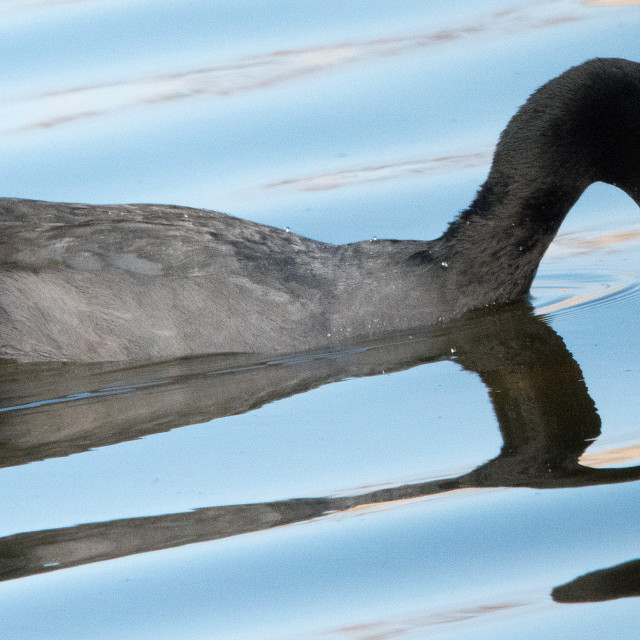 """""""Coot"""" stock image"""