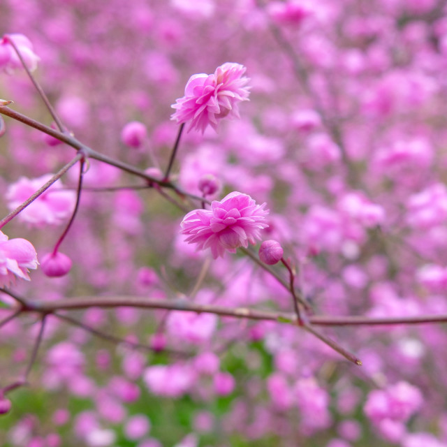 """""""Pink Blossom flowers"""" stock image"""