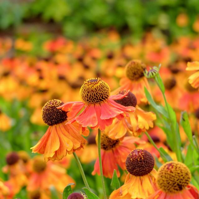 """Orange Helenium Flowers"" stock image"