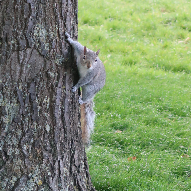 """Squirrel on tree"" stock image"