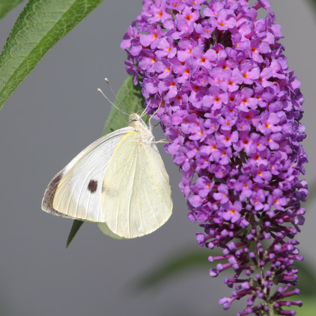 """Large White (Pieris brassicae)"" stock image"