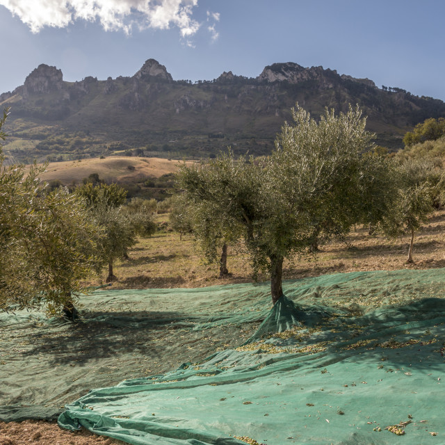 """Harvest of olives in Sicily."" stock image"