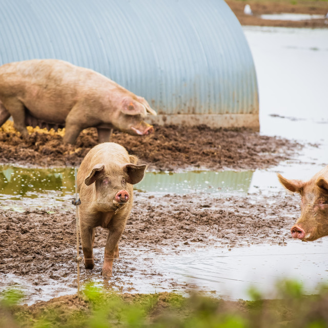 """Pig farming"" stock image"
